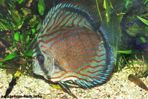 Symphysodon aequifasciatus - Discus - The brown Discus