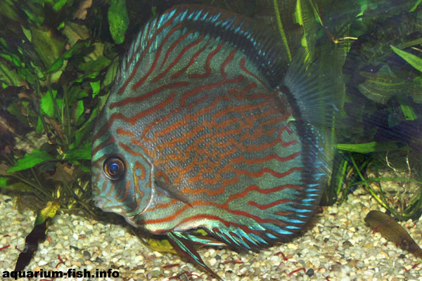 The brown Discus