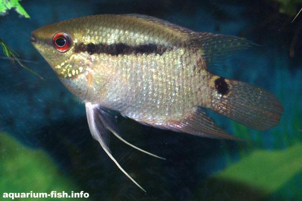 Festive cichlids make fine community fish