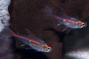 Hemigrammus erythrozonus - Glowlight tetra - Glowlights like a dark, well planted tank