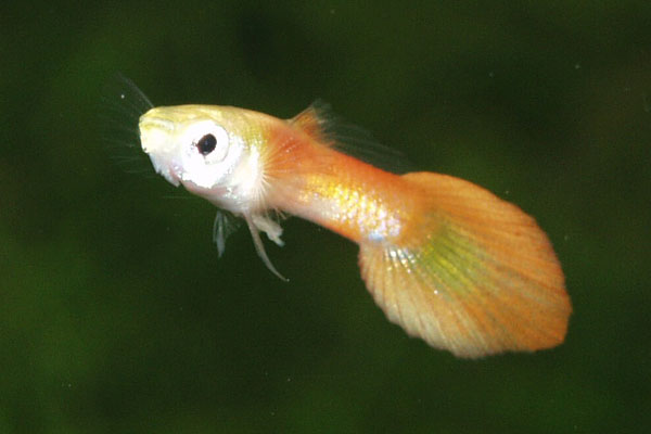 Gold cofre-tailed guppy