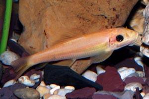 Gyrinocheilus aymonieri  - Golden algae eater - These are NOT the best algae eaters for small aquariums