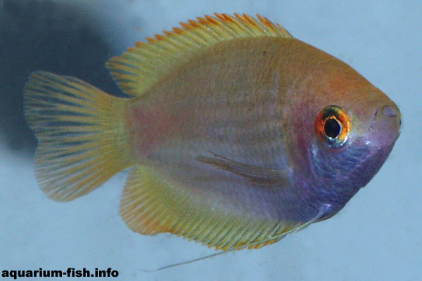 The honey gourami is a popular aquarium species