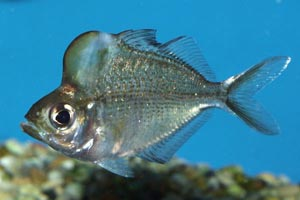 Parambassis pulcinella - Humphead glassfish - Humphead glassfish