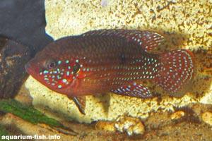 Hemichromis bimaculatus - Jewel cichlid - A colourful male