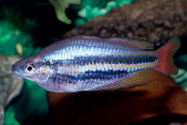There are many strains (color varieties) of the jewel rainbowfish; some are very different from others