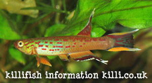 killifish information
