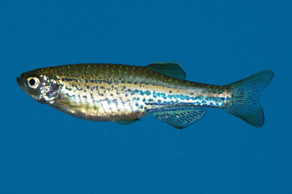 The Leopard danio is closely related to the Zebra danio, Brachydanio rerio