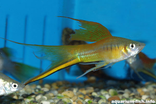Swordtails come in different varieties - pictured is a male lyretail swordtail