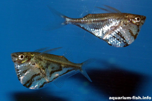 The marbled hatchetfish spends its time at the surface of the aquarium