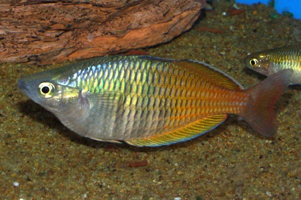 Boesemans rainbow is a stunningly coloured fish, a reason why it is so popular in the aquarium hobby