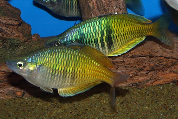 These fish are very active, requiring a large tank in which to swim