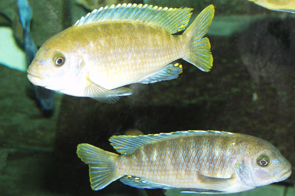 A pair of males showing typical colouration