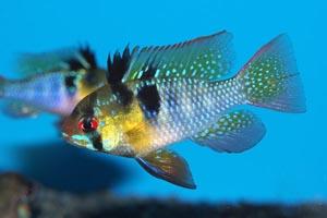 Papiliochromis ramirezi - Ram, Butterfly cichlid - Ram cichlid