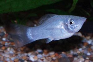 Poecilia sphenops - Molly, Short-Finned Molly, Black Molly, Liberty Molly - Mollies exist in very many colour forms