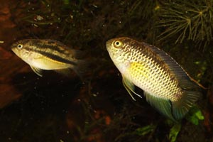 Nannacara anomala - Golden dwarf acara - This pair clearly demonstrate the size and colouration differences of each of the sexes