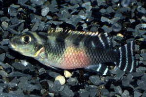 Nanochromis transvestitus - Mai-Ndombe dwarf cichlid - This image shows the female, with red belly and stripey tail