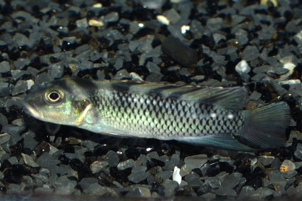 Males of the species are less colourful than females - note the lack of red on the belly of this individual