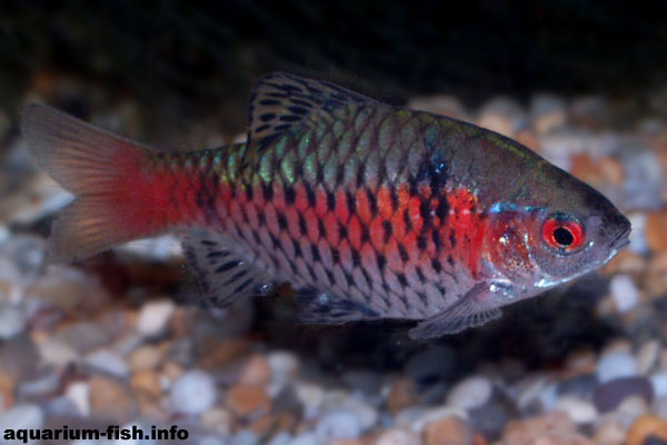 Odessa barbs may actually be a cross between other barb specis