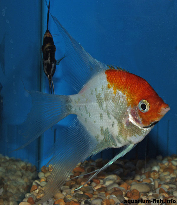"Angel fish cultivars are more widely available than the wild type fish. This is an ""orange face"" angel."