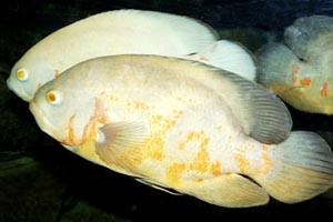 Astronotus ocellatus - Oscar, Velvet cichlid - There are several man-made varieties of oscar. This is the albino.