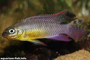 Pelvicachromis taeniatus -  -  A <I>Pelvicachromis taeniatus</I> from Lalonge