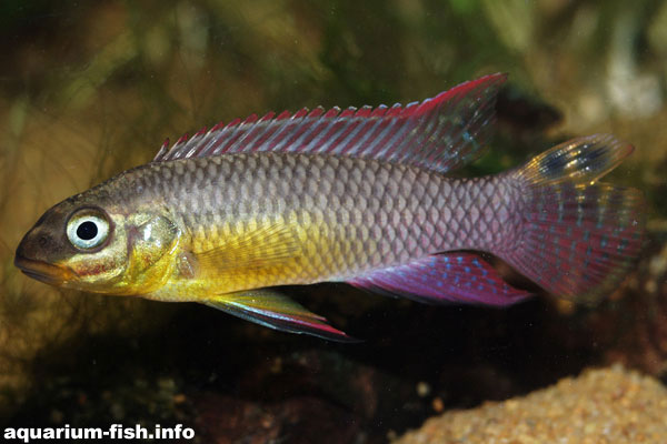 A <I>Pelvicachromis taeniatus</I> from Lalonge