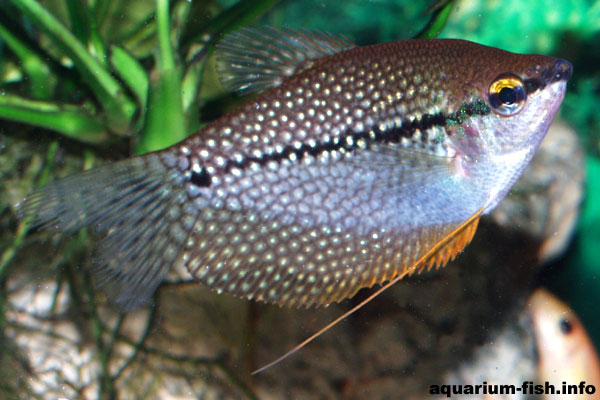 The female pearl gourami has none of the golden coloration on the throat