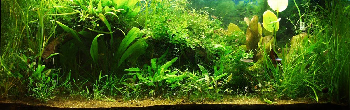 A lushly planted aquarium