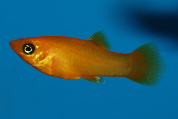 This orange platy is one of many colour forms, that are much brighter than the wild fish