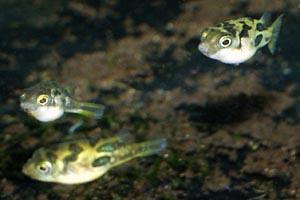 Carinotetraodon travancoricus - Dwarf puffer fish - Despite their small size, dwarf puffers still nip the fins of other fish