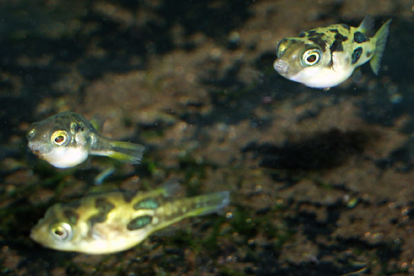 Despite their small size, dwarf puffers still nip the fins of other fish