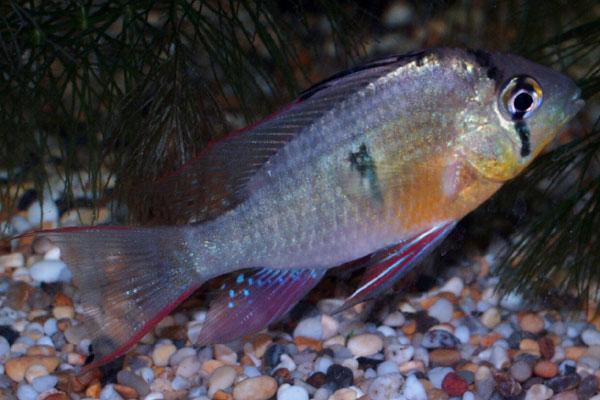 Red finned Ram