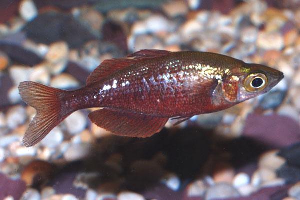 Rainbowfish like moderately hard alkaline water