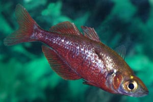 Glossolepis incisus  - Salmon-red rainbowfish - A young male - with salmon red coloration, but without the arched back of older fish