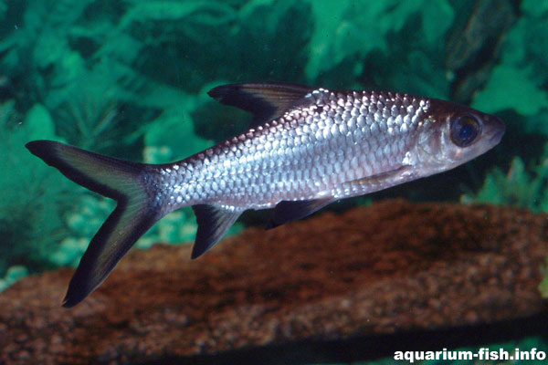 These fish are very quick swimmers, coming from fast flowing rivers in South East Asia