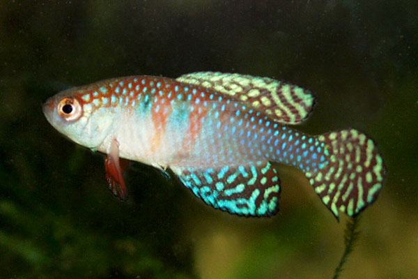 Simponichthys magnificus is one of the more colourful South American annual fish