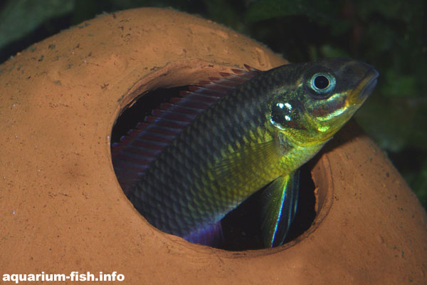 A <I>Pelvicachromis taeniatus</I> peeps out of its spawning cave