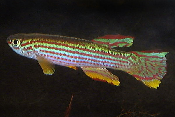 Aphyosemion striatum is one of the best known, and most kept killifish