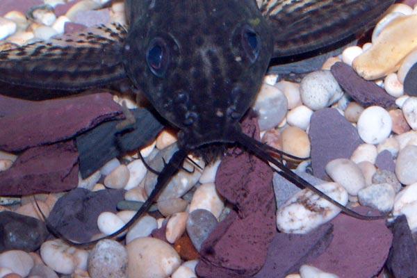 Like all members of the genera Synodontis eupterus has 3 sets of barbels.