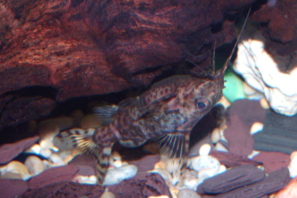 The upside down catfish in its familiar upside down swimming position