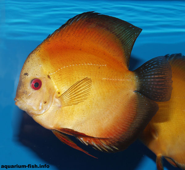 The tangerine Discus. These Discus have been selectively bred for their bright orange colouration as the name suggests